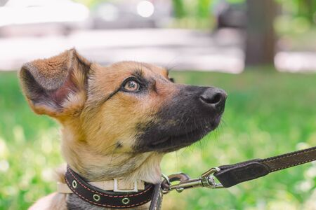 Outbred puppy in a collar on a leash walks on the street in the summer at sunny day and looks up