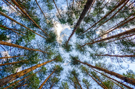 bottom view of tall pine trees in the forest against the sky and clouds nature background