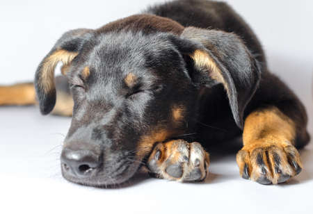 black and tan mongrel puppy sleeps on a white background close-up Stok Fotoğraf