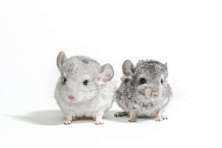 two little chinchilla cubs on a white background