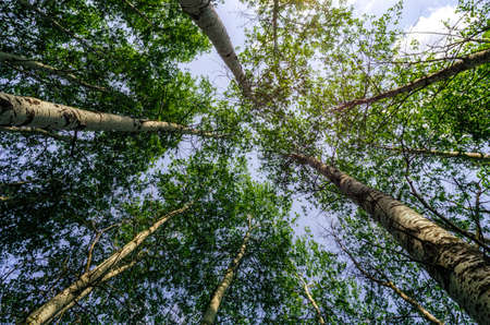 bottom view of tall trees in the forest against the sky and clouds nature background Stok Fotoğraf
