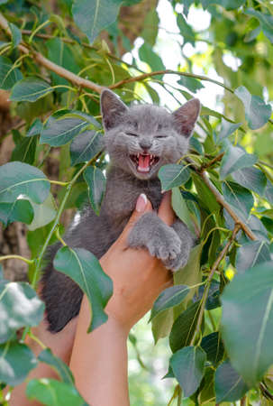 removing a blue screaming kitten from a tree