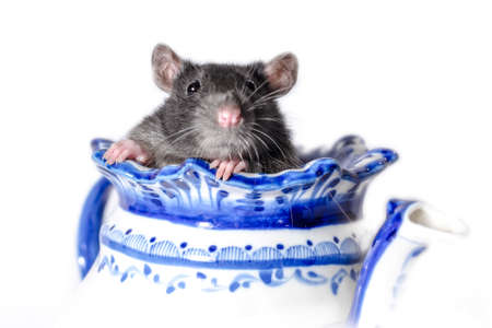 gray rat in a white and blue teapot on a light background Stok Fotoğraf