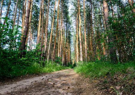 tall pine trees and road in the forest without people hiking walk trip Stok Fotoğraf