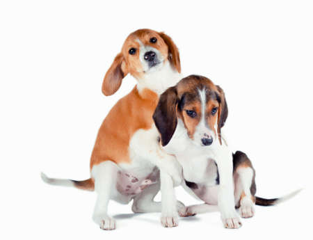 two estonian hound puppies play on a white background Stok Fotoğraf