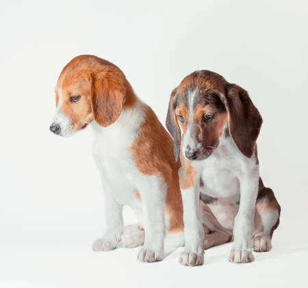 pair of estonian hound puppies are sad on a white background