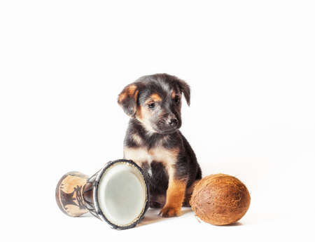 black and tan little puppy with african drum and coconut