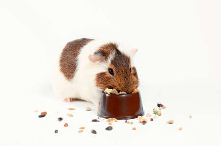 white and brown guinea pig eats its food from a brown bowl on a white background Stok Fotoğraf