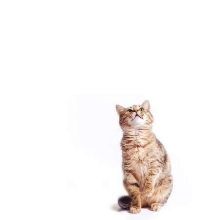 fat tabby cat looking up on a white background