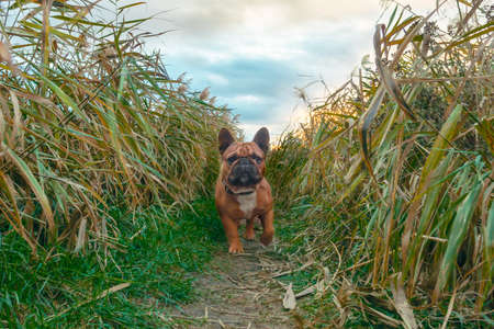 french bulldog walking on a path in the grass in autumn afternoon
