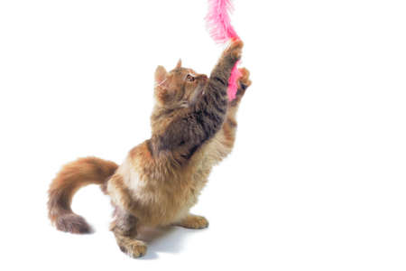 fluffy adult cat playing on white background
