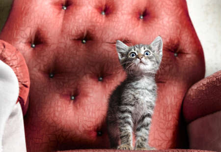 scared little tabby kitten sitting on a red chair
