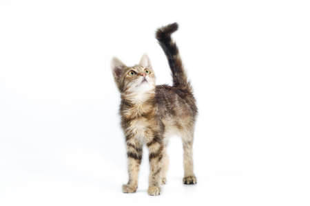 small tabby striped kitten stands and looks up with its tail raised