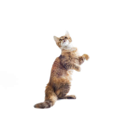 funny fluffy piebald cat stands on its hind legs on a white background Stok Fotoğraf