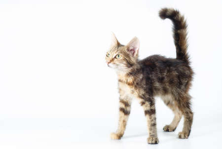 small tabby striped kitten stands and looks straight with its tail raised