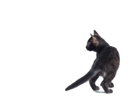 rear view of a black kitten on a white background