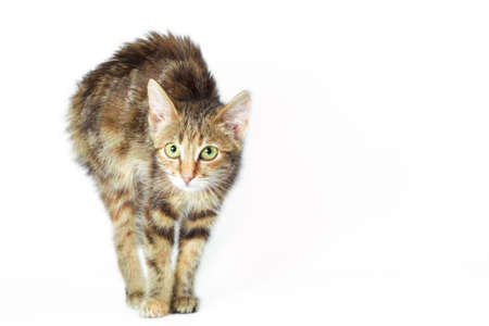 scared angry cat on a white background isolated studio shot