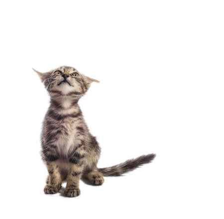 scared tabby little kitten looking up on a white background