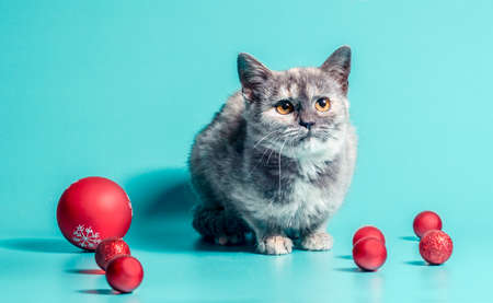 joyless holiday disgruntled kitten with christmas balls on a turquoise background Stok Fotoğraf