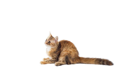 motley kitten with a long fluffy tail lies and looks up on a white background