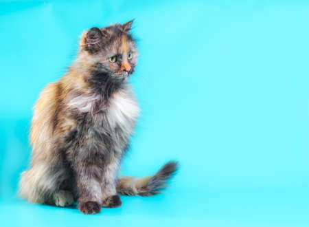 fluffy motley adult cat on a turquoise background Stok Fotoğraf