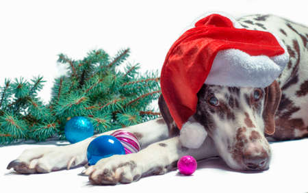 spotted Dalmatian adult dog in a santa's hat against a white background next to a fir branch and new year glass balls Stok Fotoğraf