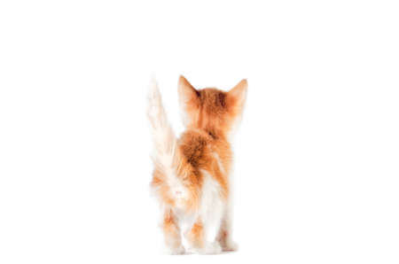 rear view of a ginger kitten with tail up on a white background