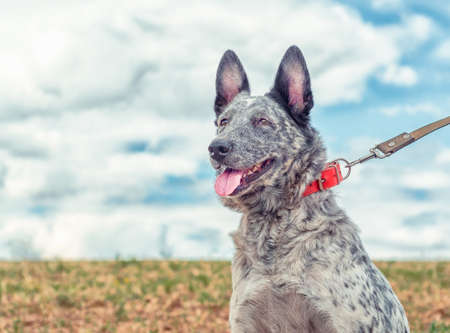 speckled dog in a bright red collar walks on a leash in the field