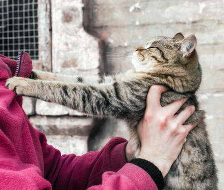 parting tabby fat cat clawed at a woman in a pink fleece jacket Stok Fotoğraf