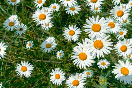 pattern of bright field daisies on a sunny day