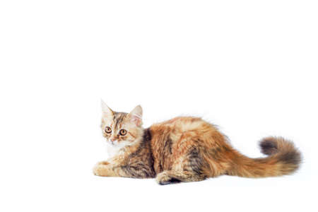 motley kitten with a long fluffy tail lies and looks straight on a white background