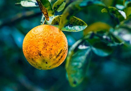 Orange Georgian mandanrin ripens on a branch with green leaves Stok Fotoğraf