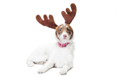 mongrel dog with New Year and Christmas deer antlers on a white background