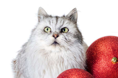 gray tabby angry cat looks up with christmas balls on a white background