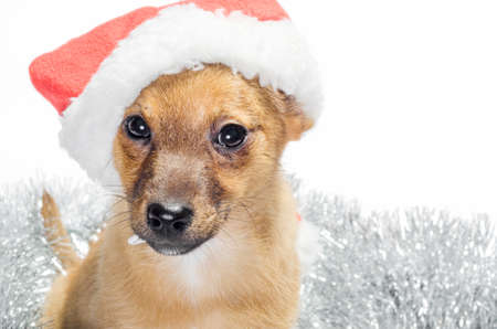 mongrel ginger puppy in a red santa hat with Christmas tinsel on a white background