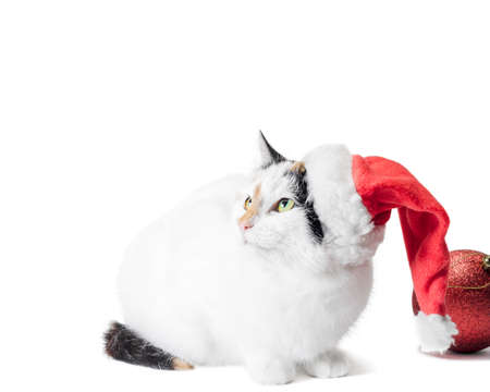 adult fluffy tricolor cat with big red christmas balls looks up Stok Fotoğraf