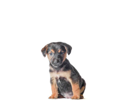 mongrel black and tan puppy sitting on a white background