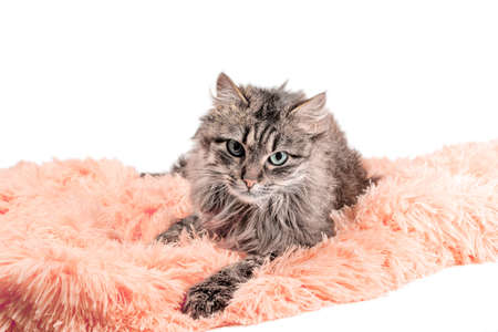 fluffy adult cat lying in orange artificial fur on a white background