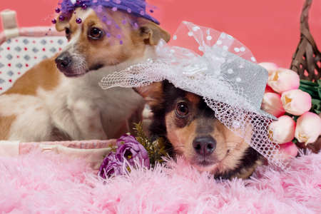 two adult dogs in hats with a veil on pink fur with a decorative suitcase and tulips in a wicker basket
