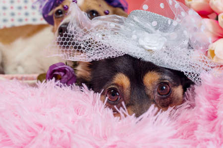 two adult dogs in hats with a veil on pink fur in decorative suitcase close up
