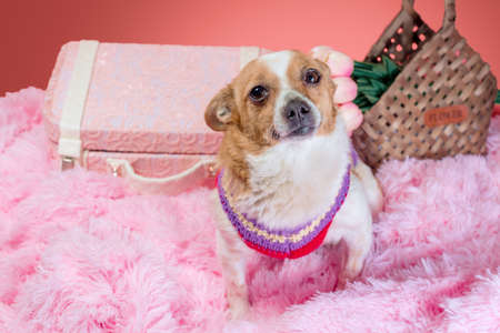 flat lay dog on pink fur with a decorative suitcase and flowers in a basket Stock fotó