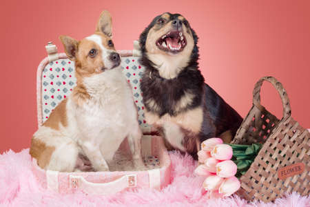 two adults dogs on pink fur with a decorative suitcase and tulips in a wicker basket