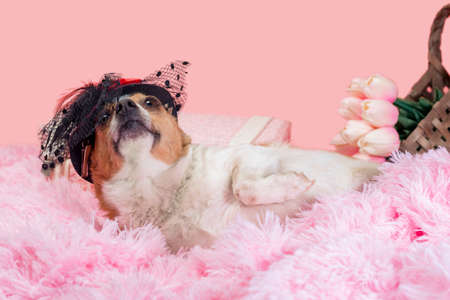 adult dog in red hat on pink fur with flowers in basket