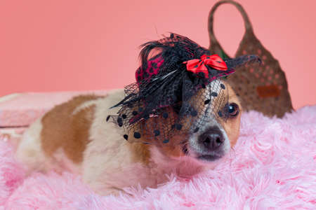 adult dog in hat on pink fur with decorative suitcase close up