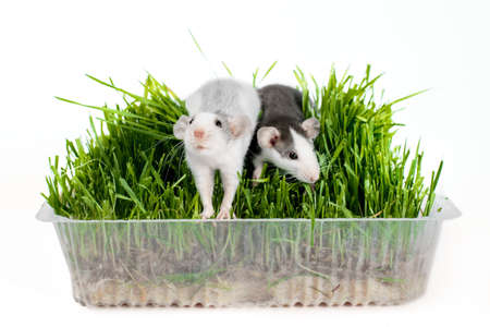 two rats of the husky breed in oat microgreen grass on a white background