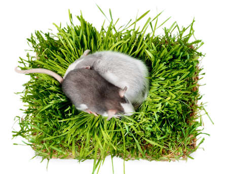 flat lay two rats of the husky breed in oat microgreen grass on a white background