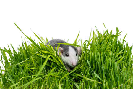 husky rat in green grass on a white background