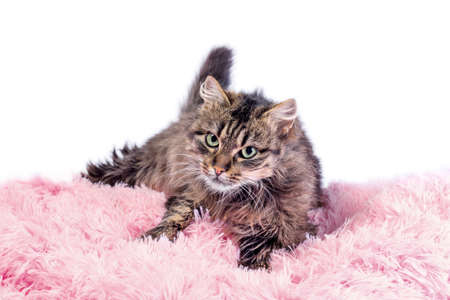 fluffy adult cat lying in pink artificial fur on a white background