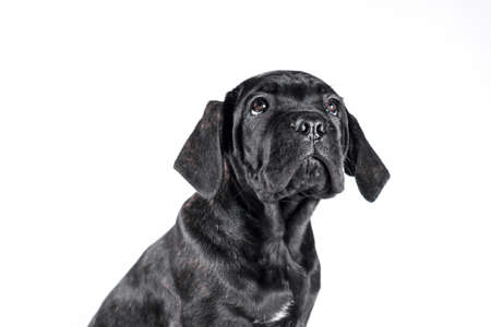 black cane corso puppy looking up on a white background isolated Stok Fotoğraf
