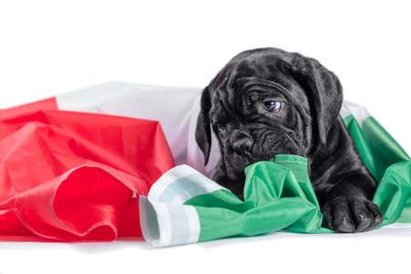 black little cane corso puppy gnaws an italian flag
